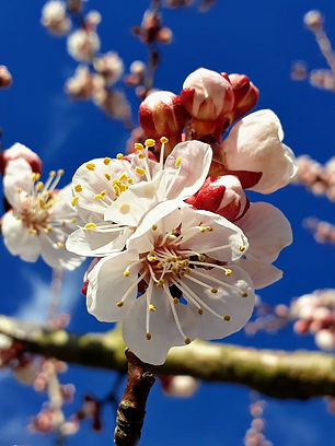 Marillenblüte.jpg