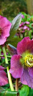 Helleborus2 Schneerose Chrostrose Lenzrose