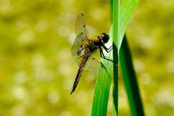 Libelle, Vierfleck