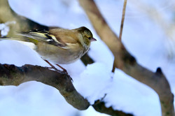 Buchfink, Weibchen im Schnee