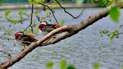 Mandarinenten im Baum