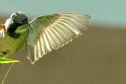 Sperling im Flug
