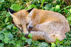 Fuchs häuslich niedergelassen