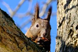Eichhörnchen mit Haselnuss im Baum