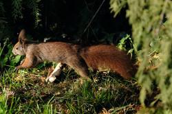 Eichhörnchen in Eile