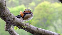 Mandarinente männlich auf Baum