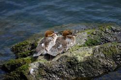 Gänsesäger Jungvögel