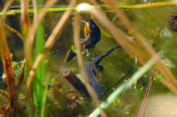 Molchpärchen im Teich