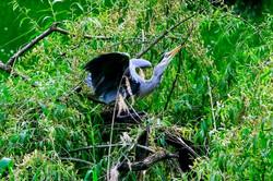 Graureiher baut Nest