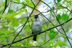 Mönchsgrasmücke mit Gesang