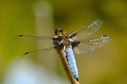 Plattbauch-Libelle, männlich