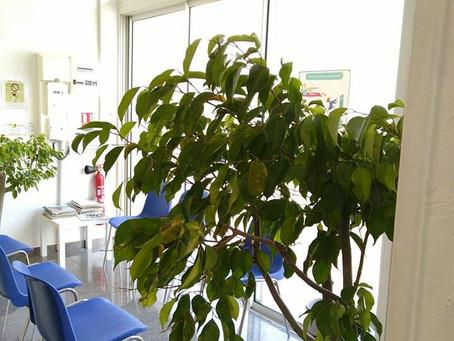 Un Ficus, une ardoise et des craies