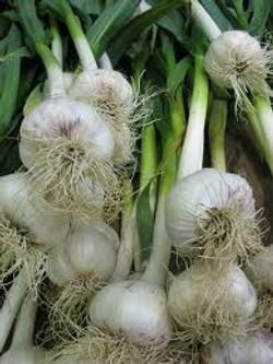 harvest-hampers-garlic-fresh