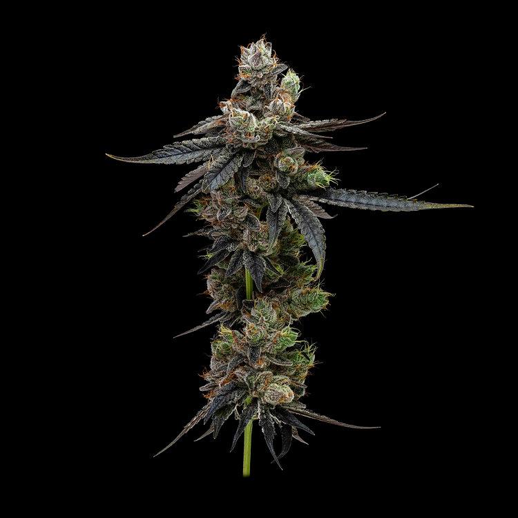 Dark Karma Whole Flower - 889 .jpg