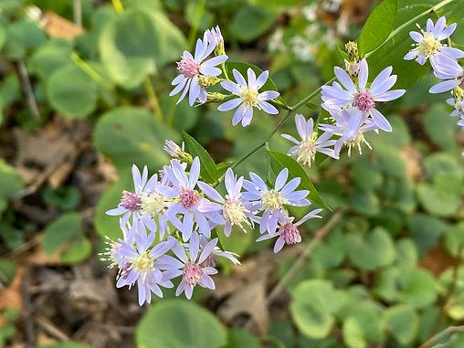 Heartleaf Aster (symphyotrichum cordifolium)
