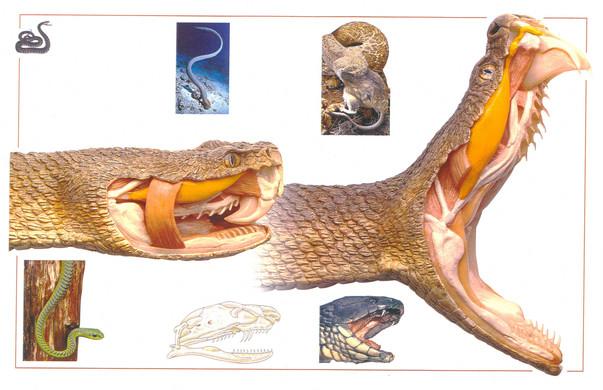 DKrattlesnake.jpg