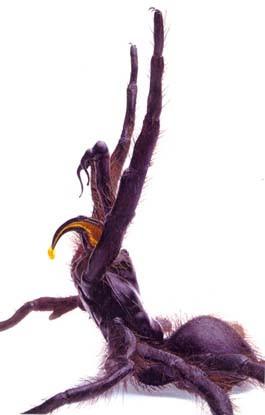 Model of Funnel Web Spider