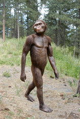 Lucy (Australopithecus afarensis)