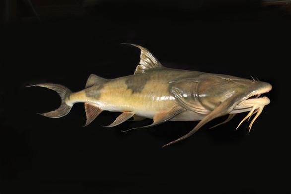 Goonch Catfish