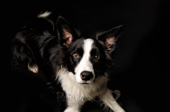 Black & White collie dog Glasgow