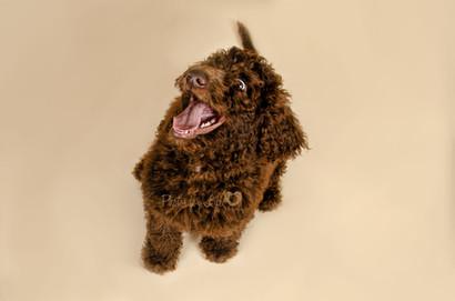 Brown dog Glasgow photo shoot