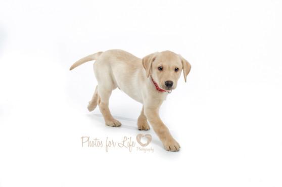 Puppy lab Glasgow