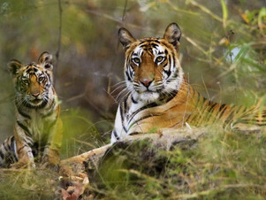 Tiger and cub bhandavgarh