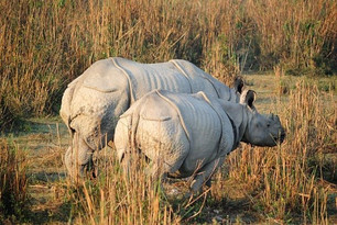 One Horn Rhino-Kaziranga National Park
