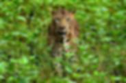 Tiger in Nagarhole