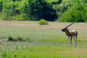 Point Calimere Wildlife Sanctuary Black
