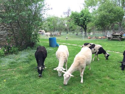 Sheep in the Yard
