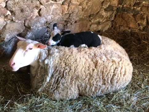 Orchid and Lamb