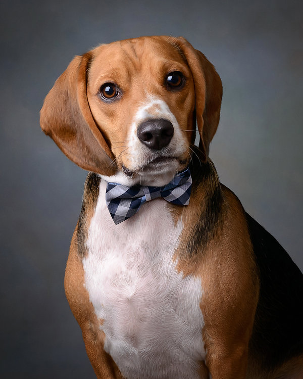 Cute Portrait of Beagle by Tim Bennett ... Dog Photographer at Bennett Photography in Evansville, Indiana