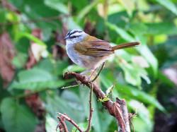 black-striped+sparrow.jpg