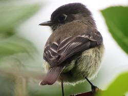 black-capped+flycatcher.jpg