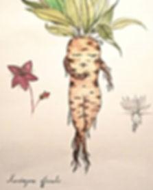 Mandragore en planche botanique...jpg