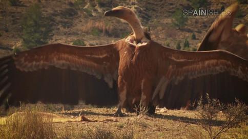 Birdwatching - Vultures - Teruel