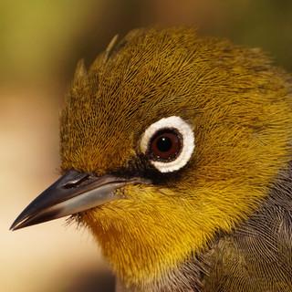 Silvereye (Zosterops lateralis) a.k.a 'trashbird'