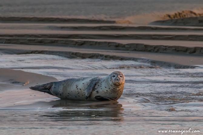 Rencontrer les phoques en Baie de Somme...