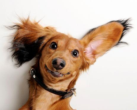 Ear Dog.jpg