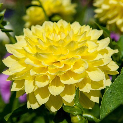 Yellow Dahlia and Rose Quartz Essence