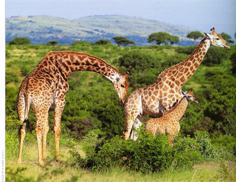 giraffe family.jpe