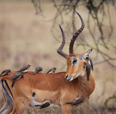 impala & tick birds.bmp