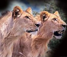 Loving the Lions