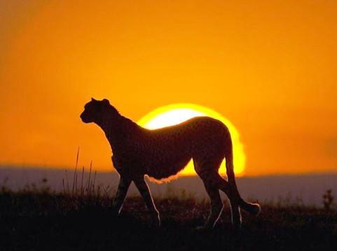 serengeti cheetah sunset.JPG.jpg