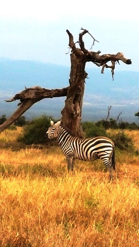 lone zebra.jpg