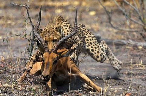 makgadi cheetah kill.jpe