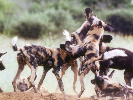 Wild Men, Wild Women & Wild Dogs: Cutting-edge, cooperation for Competition
