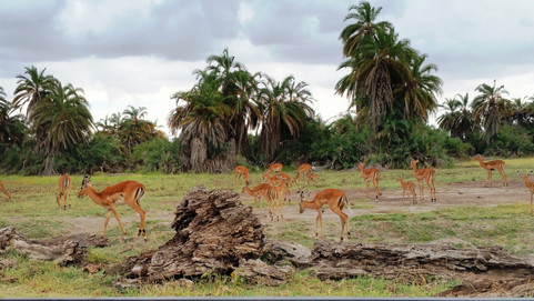 impala herd.jpg