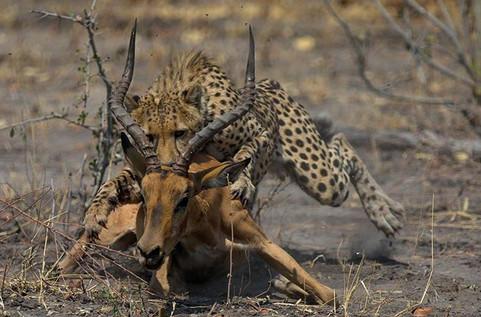 makgadi-cheetah-kill.jpg